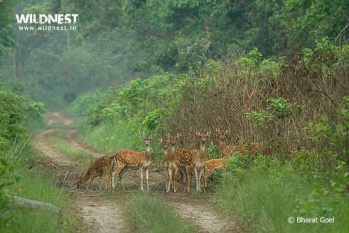 Spotted deer herd at dudhwa tiger reserve