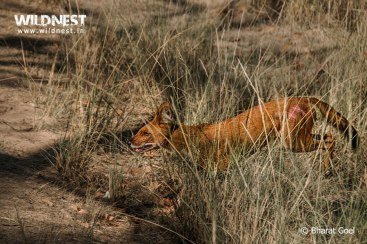 dhole injured during fight at kanha national park