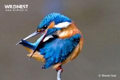 common kingfisher at dudhwa national park