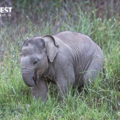 elephant baby at rajaji national park