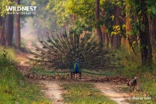 peacock dancing in habitat at dudhwa national park