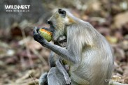 Langur with baby at Tadoba in Monsoons