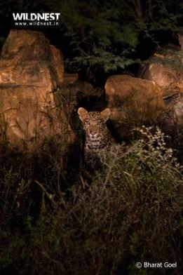 leopard at sariska tiger reserve