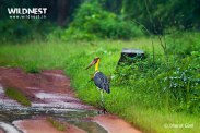 lesser adjutant stork at tadoba andhari tiger reserve in Monsoons