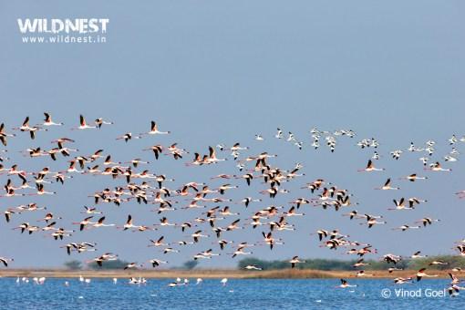 flamingos flying at little rann of kutch