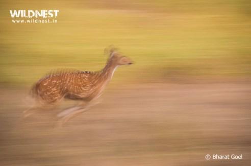 deer motion photography at kanha national park