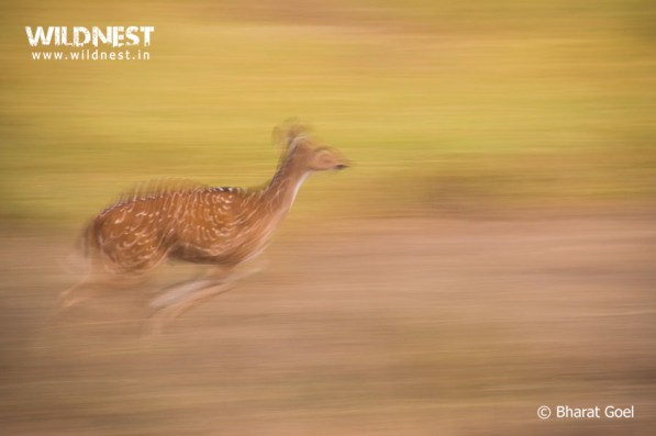 deer motion photography at kanha national park