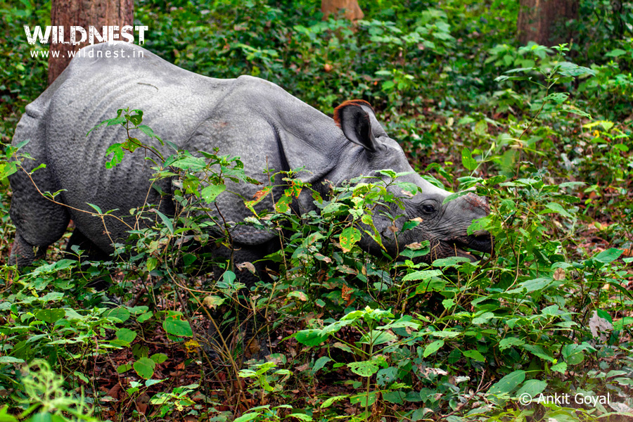 one-horned-rhinoceros-dudhwa.jpg