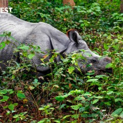 one-horned rhinoceros at dudhwa national park