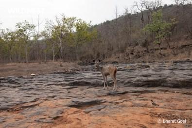 sambar deer at panna national park