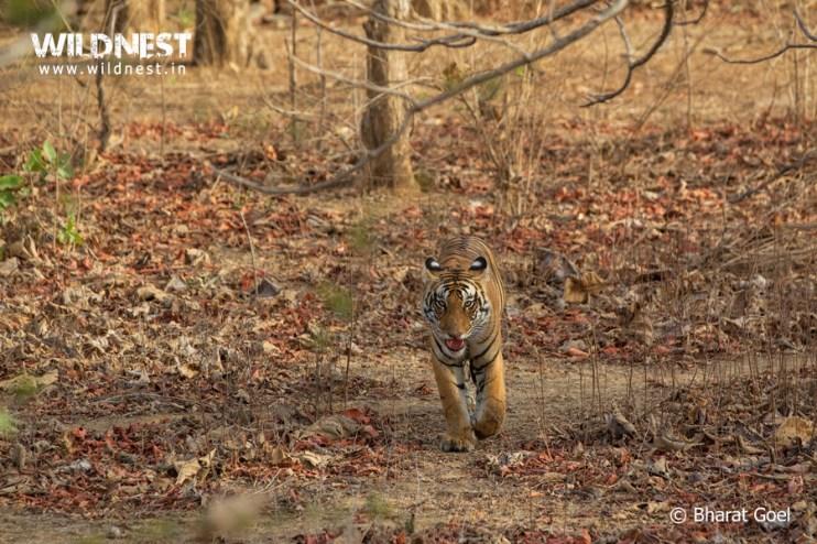 tiger at pench tiger reserve