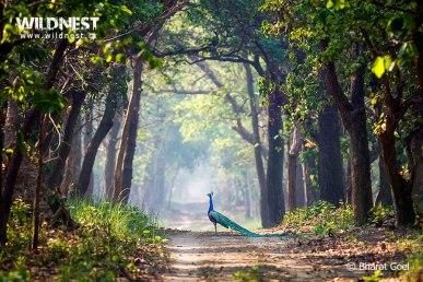 peacock in habitat at dudhwa national park