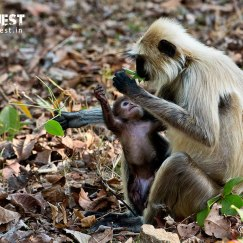langur with baby at pench tiger reserve