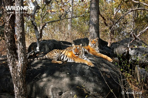 tiger on machan at pench tiger reserve