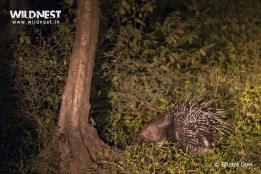 porcupine at sariska tiger reserve