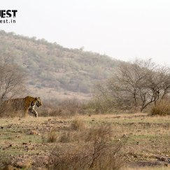 ranthambore national park tiger