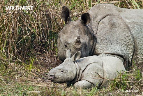 rhino with baby at Kaziranga National Park