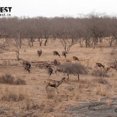 sambar deer herd at ranthambore national park