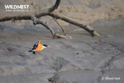 black caped kingfisher at sundarbans tiger reserve