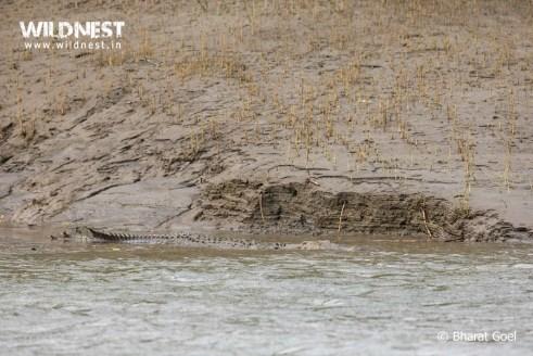 estuarine crocodile at sundarbans tiger reserve