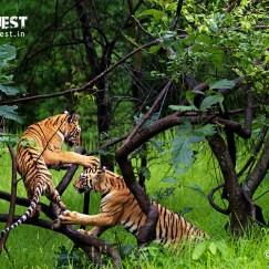 tiger at tadoba andhari tiger reserve, india