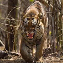 tiger growl at tadoba andhari tiger reserve in monsoon