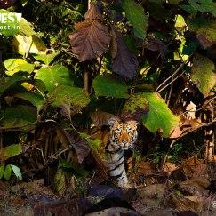 tiger in habita at tadoba andhari tiger reserve