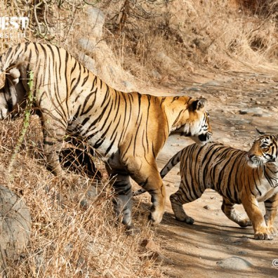 Tigers during courtship at Ranthambore National Park