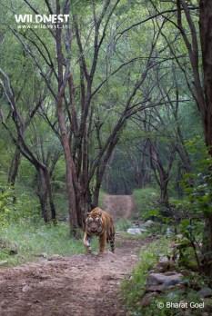 tiger at sariska tiger reserve