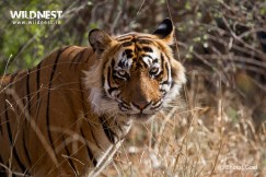 tiger staring at ranthambore national park