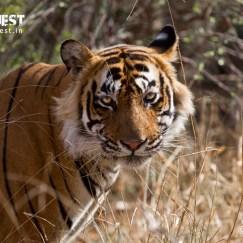 tiger staring at ranthambore national park