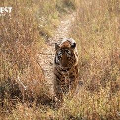 tiger walking in habitat at kanha national park