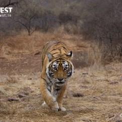 tiger at ranthambore national park