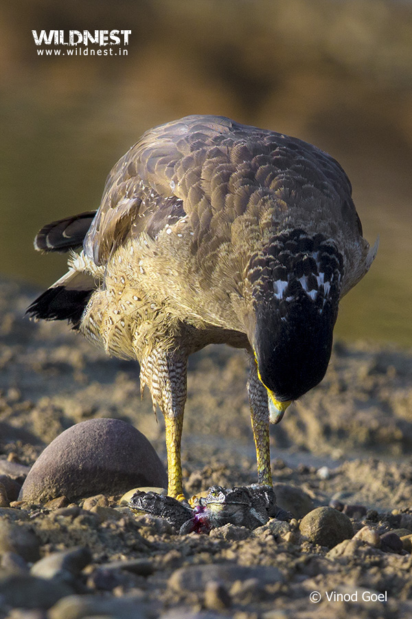 eagle with kill at Rajaji Vinod Goel Wildlife Photographer