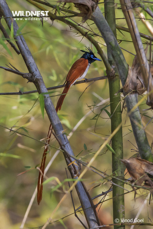 asian-paradise-fly-catcher-tadoba