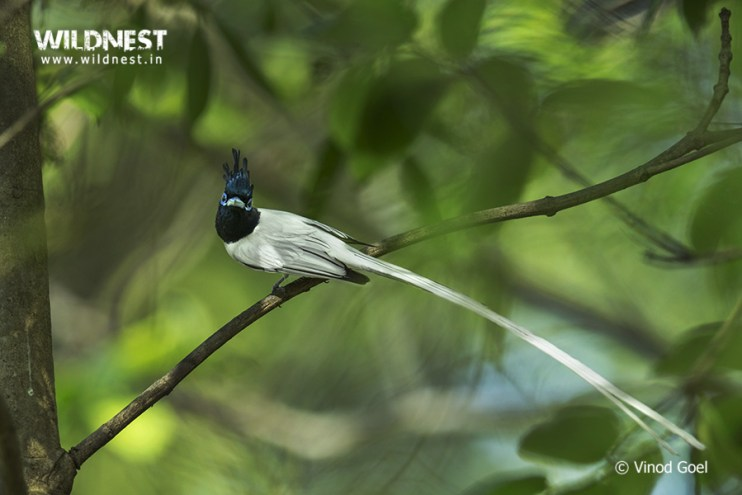 asian-paradise-flycatcher-male-tadoba