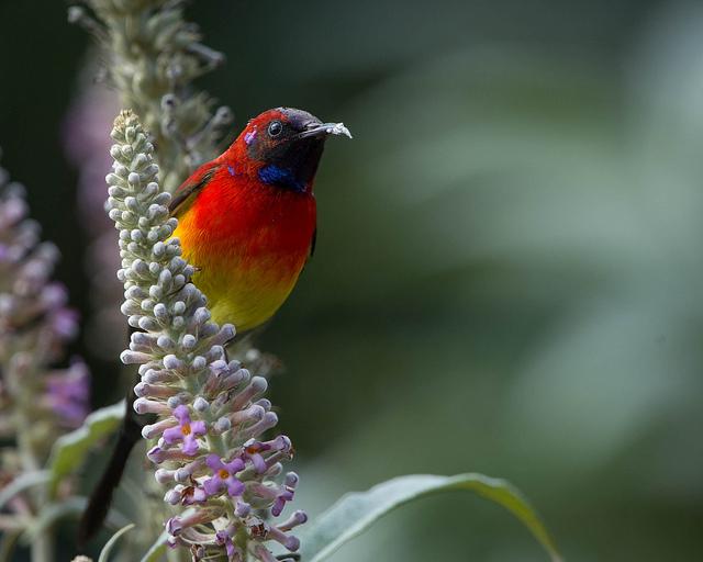 gould sunbird