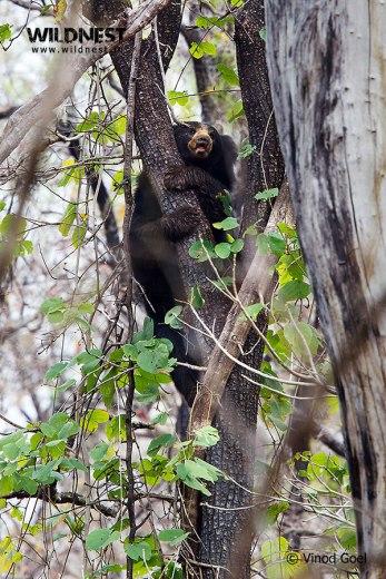 sloth beer climbing tree at nagzira