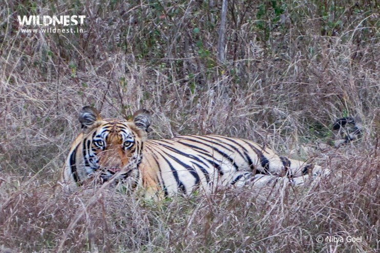 tiger-looking-tadoba-nitya