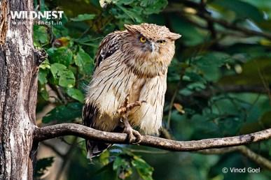 Brown Fish Owl at Dudhwa National Park