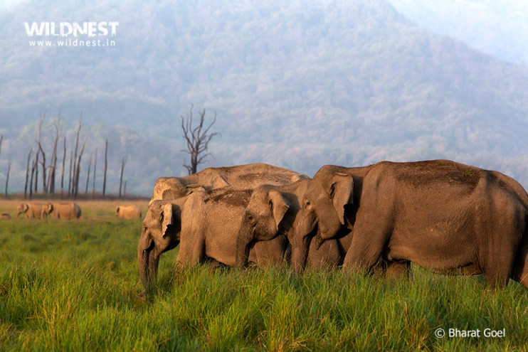 Elephants Herd at Corbett Tiger Reserve