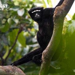 Hoolock Gibbon at Kaziranga National Park