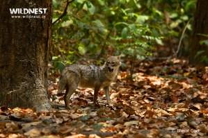 Jackal shouting at Corbett Tiger Reserve