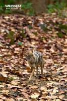 Jackal in Habitat at Corbett Tiger Reserve