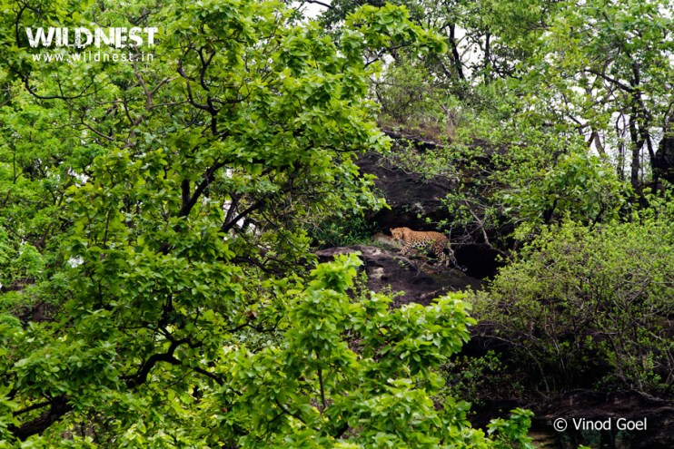Leopard in monsoons at Bandhavgarh National Park