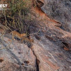 Leopard with cub on machan at Bera