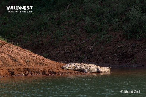 Crocodile taking sunbathe at Panna National Park