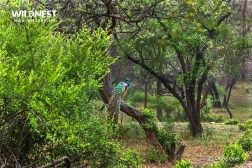 Peacock in Habitat at Sariska Tiger Reserve