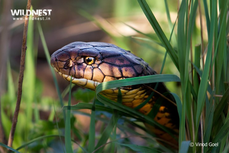 King Cobra at Rajaji National Park