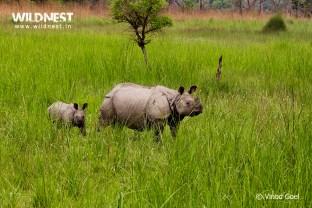 Rhino with Baby at Dudhwa National Park